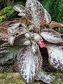 Berne Botanic garden Episcia cupreata.jpg