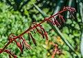 Beschorneria tubiflora 01.jpg