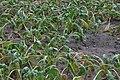 Beta vulgaris subsp. vulgaris var. altissima drought (02).jpg