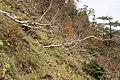 Betula ermanii 04.jpg