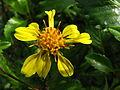 Bidens hawaiensis (5465525735).jpg