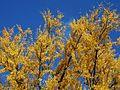 Big Ginkgo tree of Jissoin upper part 2016-12-06.jpg