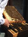 Biodiversité - abeilles.png
