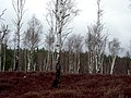 Birch Woodland Beside Speyside Way - geograph.org.uk - 764392.jpg