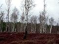 Birch Woodland Beside Speyside Way - geograph.org.uk - 764392.jpg