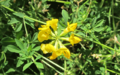 Bird's-Foot-Trefoil-8.png