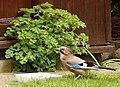 Bird (PL) - Sójka (33409236573).jpg