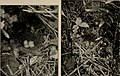 Bird homes - the nests, eggs, and breeding habits of the land birds breeding in the eastern United States; with hints on the rearing and photographing of young birds (1905) (14775525223).jpg
