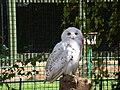 Birmingham Nature Centre - Snowy Owl - Andy Mabbett - 03.JPG