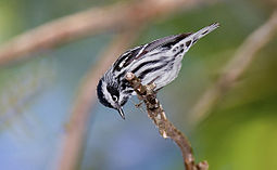 Black-and-white-warbler-109a.jpg