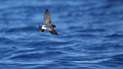 Black-bellied Storm Petrel.jpg