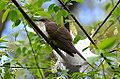 Black-billed Cuckoo - around NOON - back at same spot (14063108821).jpg