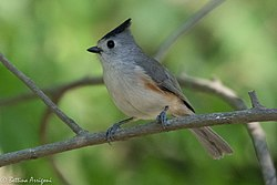 Black-crested Titmouse National Butterfly Center Mission TX 2018-03-01 16-26-28 (39768186455).jpg