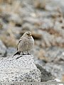 Black-winged Snowfinch (Montifringilla adamsi) (48088862631).jpg