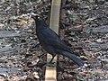 Black Currawong (Strepera fuliginosa) -- Tasmania 2014.JPG