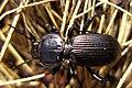 Black Ground Beetle under log Oberon (3507029824).jpg