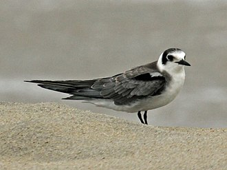 Black tern - Image: Black Tern RWD