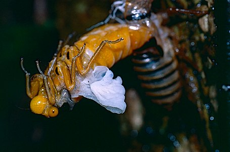 Black and Golden Cicada (Huechys fusca) emerging at night from nymph exoskeleton (14491224658).jpg