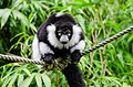 Black and white Ruffed Lemur (21782519254).jpg