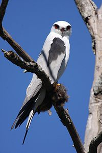 Black shouldered kite samcem.jpg