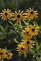 Blacklick Woods - Yellow Coneflower 1.jpg