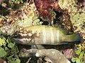 Blacktip grouper (Epinephelus fasciatus) (46727118601).jpg