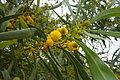 Blackwood Acacia (Retinoides) Alvor 12.02.16 (25039794345).jpg