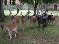 Blatná (CZE) - fallow-deer in park.jpg