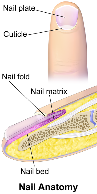 Cuticle - Anatomy of the basic parts of a human nail.