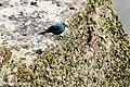 Blauwe-rotslijster-8 (28102080284).jpg