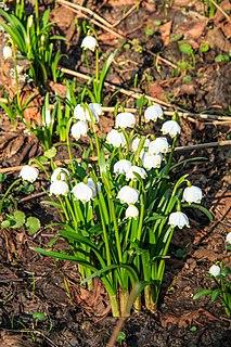 <i>Leucojum vernum</i> Species of flowering plant in the family Amaryllidaceae
