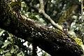 Blue-capped rock thrush (Monticola cinclorhyncha)Kolli hills JEG3193 .jpg