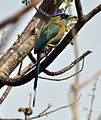 Blue-crowned Motmot (7047602715).jpg