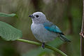 Blue-grey Tanager, Thraupis episcopus.jpg