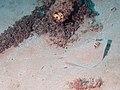 Blue-spotted stingray (Neotrygon kuhlii) (48812961981).jpg