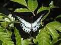 Blue Mormon Papilio polymnestor by Dr. Raju Kasambe DSCN4781 (8).jpg