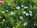Blue flowers Varenna Italy.jpg