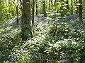 Bluebells in Wood - panoramio.jpg