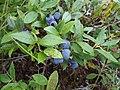 Blueberries - panoramio.jpg