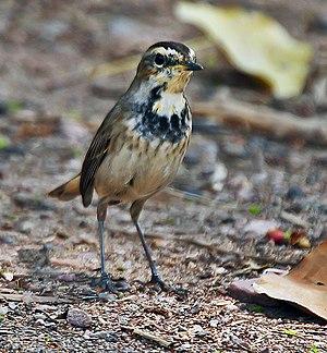 Bluethroat - Image: Bluethroat (Luscinia svecica) Female at Bharatpur I IMG 5484