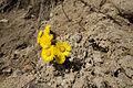 Blumen an der Steilküste in Sassnitz auf Rügen.jpg