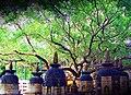 Bodh gaya peepal tree.jpg