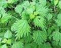 Boehmeria japonica.jpg