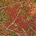 Bog moss in autumn colours - geograph.org.uk - 1031544.jpg