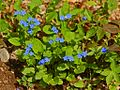 Boraginaceae - Omphalodes verna-5.JPG