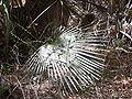 Borassus aethiopum 0025.jpg