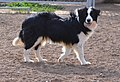 Border Collie Macho Blanco y Negro (Batman, los Baganes Border Collie).jpg