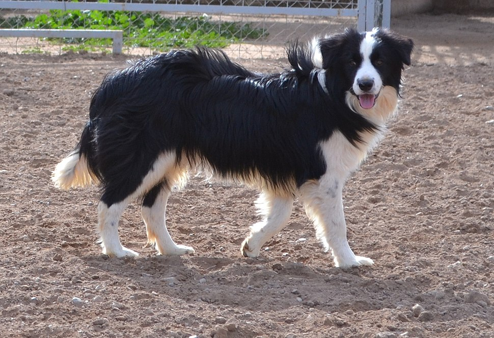 Border Collie - Howling Pixel
