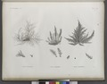 Botanique. 1. Fucus spinulosus; 2. Fucus taxiformis; 3. Fucus cyanospermus (NYPL b14212718-1268689).tiff