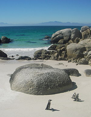 African (Jackass) penguins at Boulders Beach i...